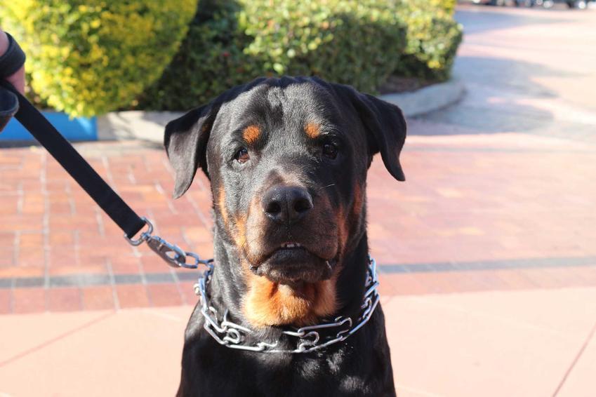 Duży pies w kolczatce na szyi, a także kolczatka dla psa, czyli metalowa obroża z kolcami, czy jest skuteczna i gdzie jest zabroniona