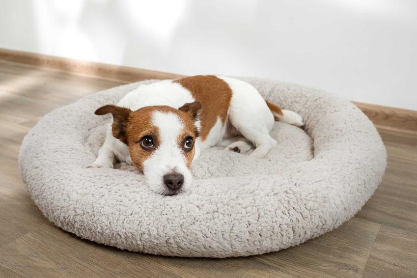 Pies na okrągłym legowisku, a także łóżka dla psa - 10 najlepszych modeli łóżek dla psów