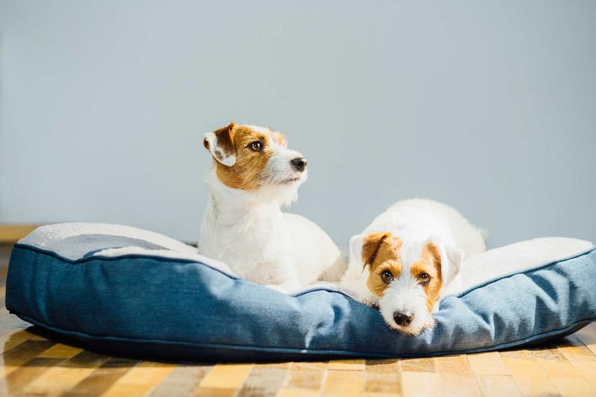 Dwa psy teriery na legowisku, a także łóżko dla psa krok po kroku, czyli 10 najlepszych legowisk dla psów