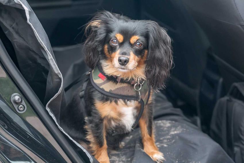 Mały pies na macie dla psów na tylnym siedzeniu samochodu, a także mata dla psa krok po kroku, opinie, rodzaje i cena