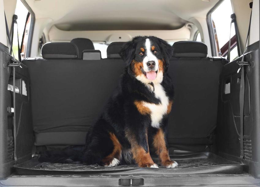 Pies berneńczyk w bagażniku na macie dla psa, a także mata dla psa do samochodu krok po kroku, opinie, wymiary