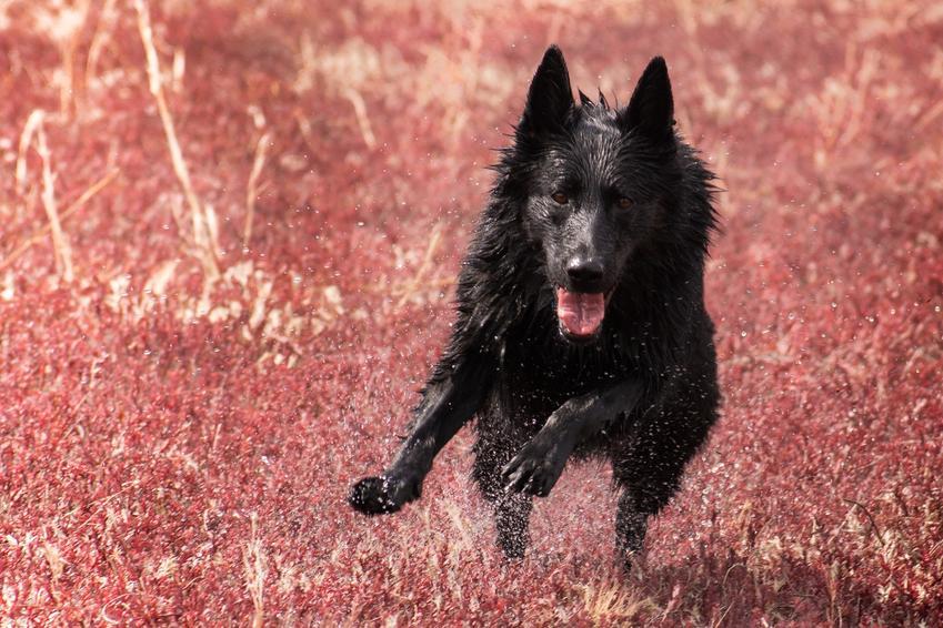 Czarny owczarek niemiecki biegający po polu, a także cena za szczeniaki i opis