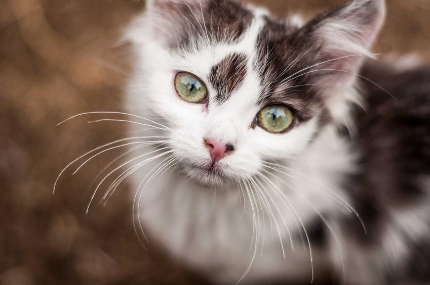 Oczy u kota, a także trzecia powieka u kota i opis schorzenia, przyczyny, objawy i zastosowanie