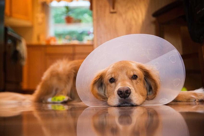 Pies w kołnierzu pooperacyjnym, a także prostata u psa, choroby, objawy, leczenie oraz rokowania