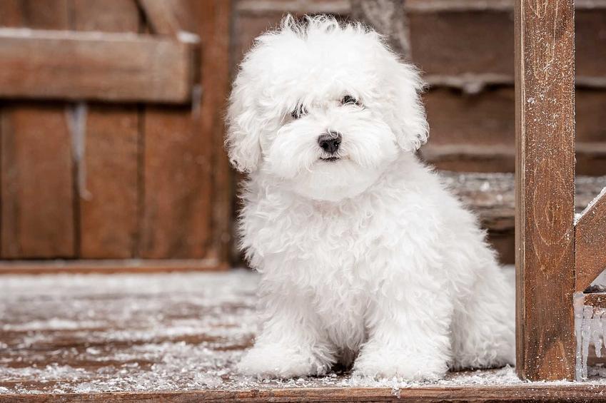 Mały pies maltańczyk w ciąży, a także inforamcje, ile pies chodzi w ciąży, czyli ile trwa ciąża u psów różnych ras
