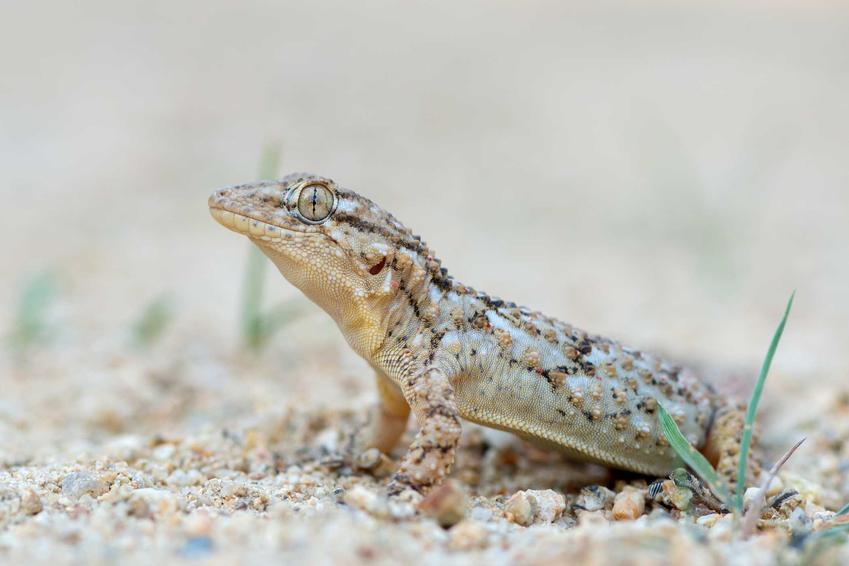 Gekon murowy na podłożu z drobnego żwirku, a także informacje, hodowla, rozmnażanie, wymagania oraz porady dla hodowcow