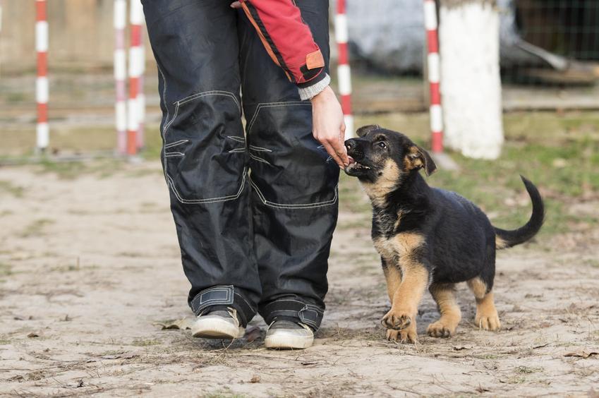 Mały owczarek niemiecki podczas tresowania, a także najlepsza hodowla owczarków niemieckich w Polsce