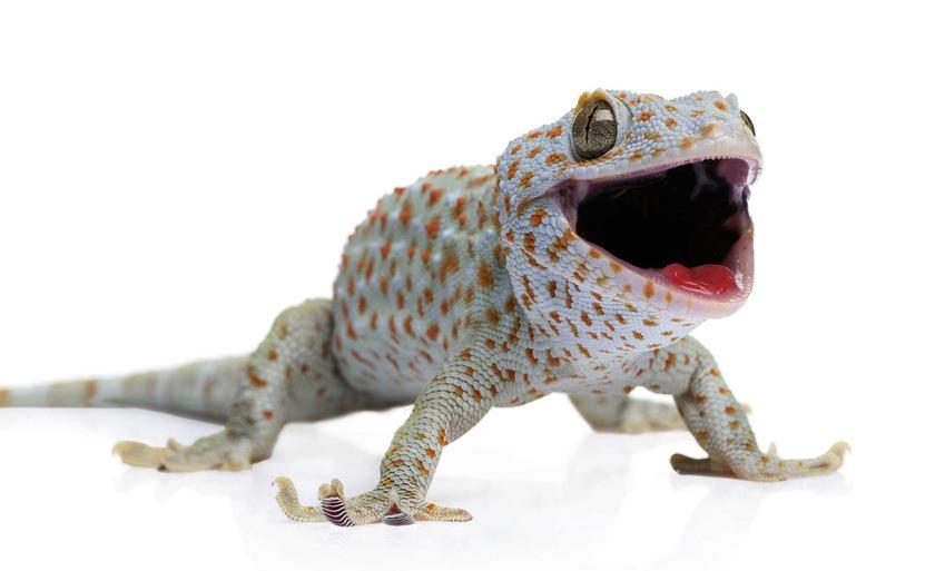 Gekko Gecko w szaro-niebieskim kolorze, a także informacje, wymagania, hodowla, rozmnażanie oraz porady