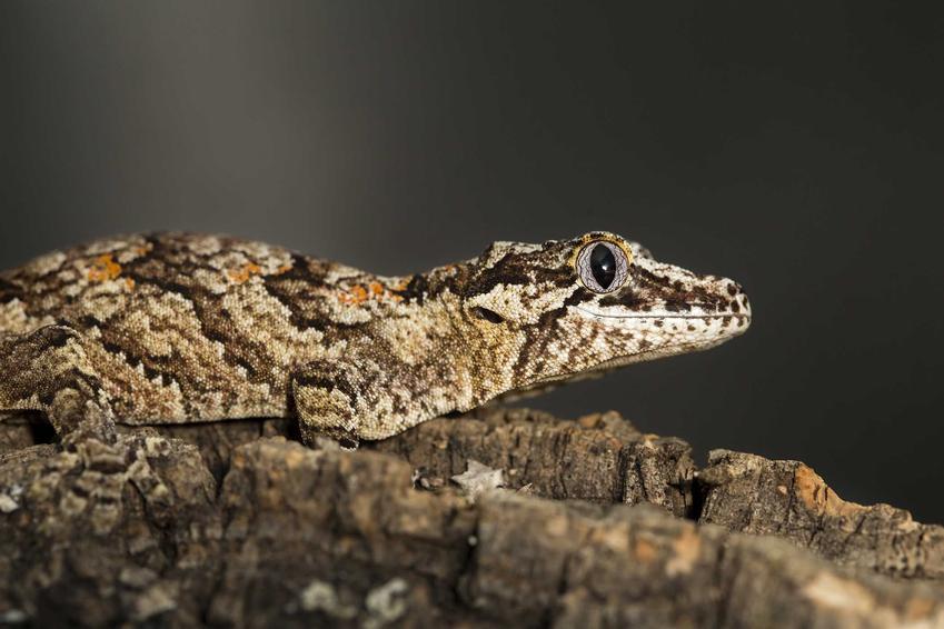 Gekon gargulcowy o brązowej skórze siedzący na skale, a także opis, hodowla, pochodzenie, porady dla właścicieli i wymagania
