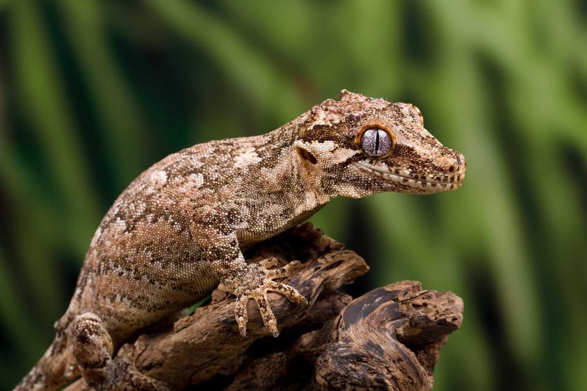 Gekon gargulcowy siedzący na skale na tle zieleni, a także pochodzenie gada, opis, hodowla, porady dla właścicieli i wymagania zwierzęta