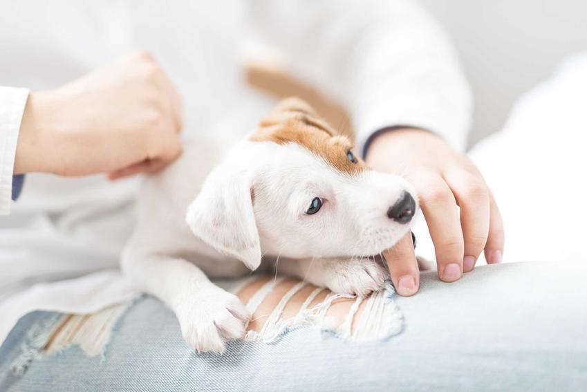 Właściciel oglądający skórę psa, który ma wszoły, a także wszoły u psów i kotów i rozpoznawanie szkodników, zwalczanie i leczenie