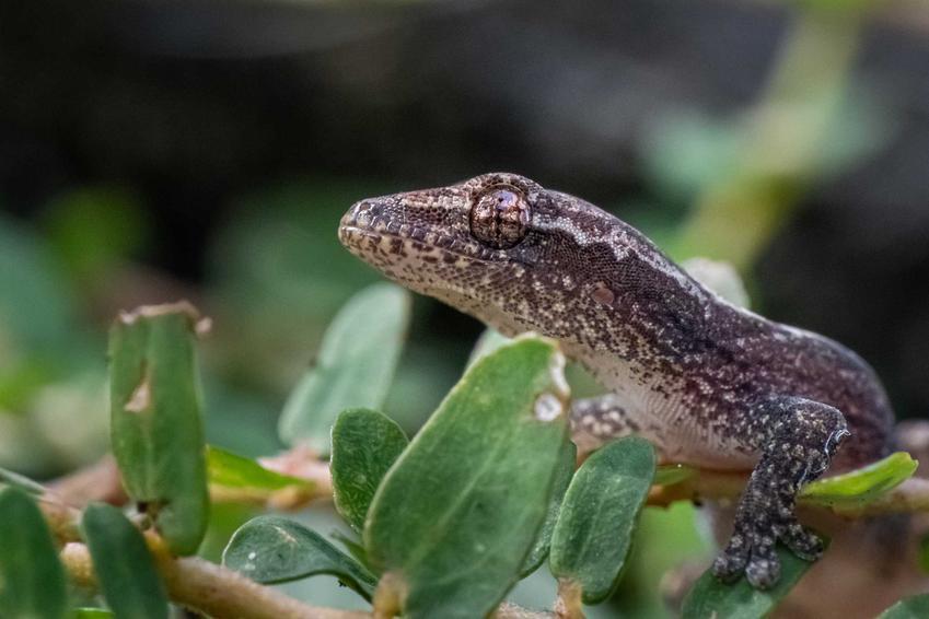 Gekon cziczak w terrarium, a także opis, wymagania, pielęgnacja, rozmnażanie oraz porady dla hodowców krok po kroku