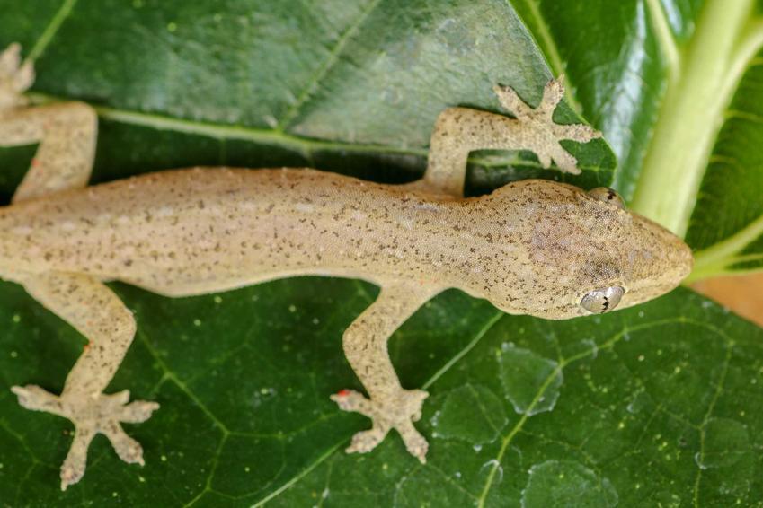Gekon cziczak na liściu, a także opis, wymagania, pielęgnacja, rozmnażanie i porady dla hodowców