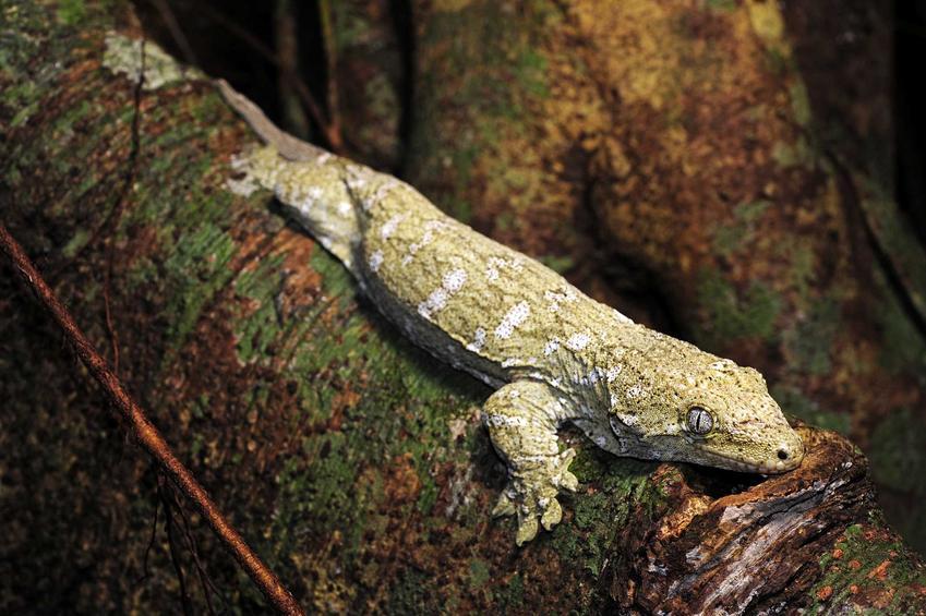 Gekon olbrzymi siedzący na pniu drzewa, a także pochodzenie, wymagania, żywienie oraz hodowla i porady dla hodowców