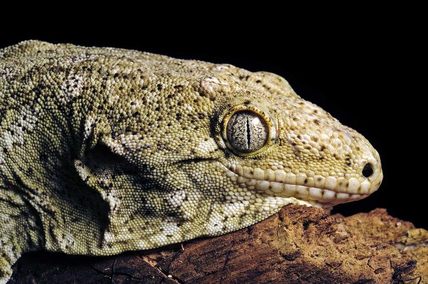 Gekon olbrzymi na korzeniu w terrarium, a także pochodzenie, hodowla, wymagania oraz porady dla hodowców na temat rozmnażania i żywienie