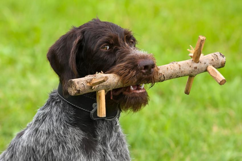Pies z patykiem w pysku oraz tresura psa i porady, jak nauczyć psa aportować