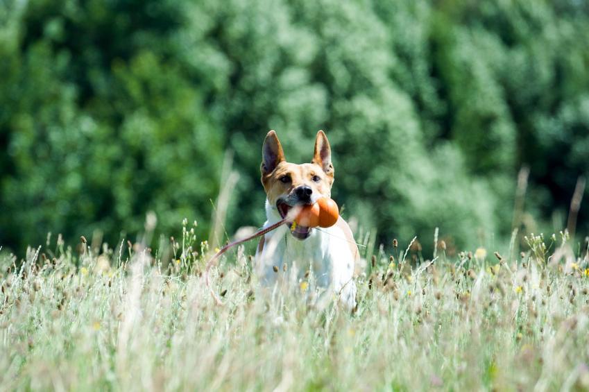 Aportujący pies, a także wskazówki, jak nauczyć psa aportować i tresura psa