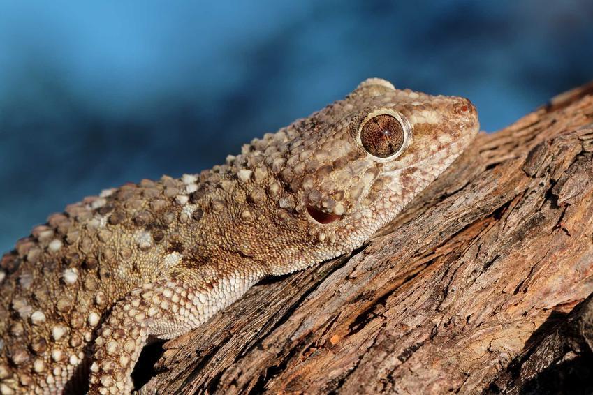 Gekon liścioogonowy siedzący na korzeniu w terrarium, a także gekon pigmejski, żmijowaty oraz ich pochodzenie i opis
