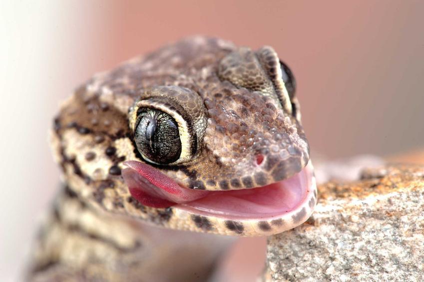 Mały gekon madagaskarski siedzący na kamieniu, a także opis, zdjęcia, pochodzenie, wygląd i wymagania gekona