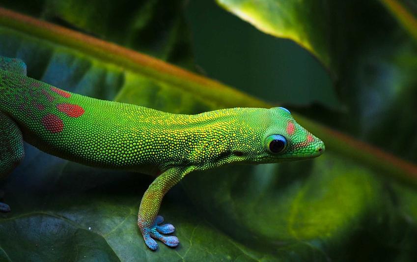 Gekon w zielonym kolorze w terrarium, a także jaka jest cena gekona w sklepie zoologicznym, czyli ceny, koszt różnych gatunków
