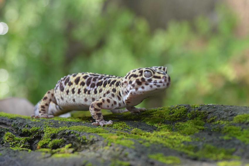 Gekon siedzący na kamieniu, a także cena gekona, czyli ceny różnych gatunkó gekonów i ile kosztuje gekon
