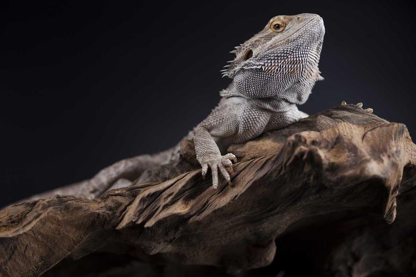 Agama siedząca na korzeniu, a także inne egzotyczne jaszczurki, czyli najlepsze gatunki, opisy oraz wymagania różnych jaszczurek