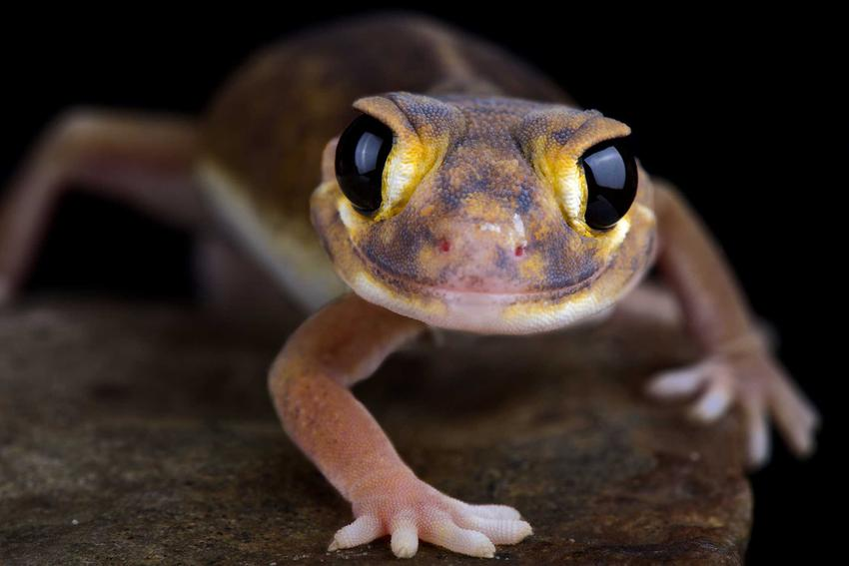 Gekon w terrarium, czyli ciekawa egzotyczna jaszczurka, a także inne jaszczurki do hodowli w domu - gatunki, opisy oraz wymagania