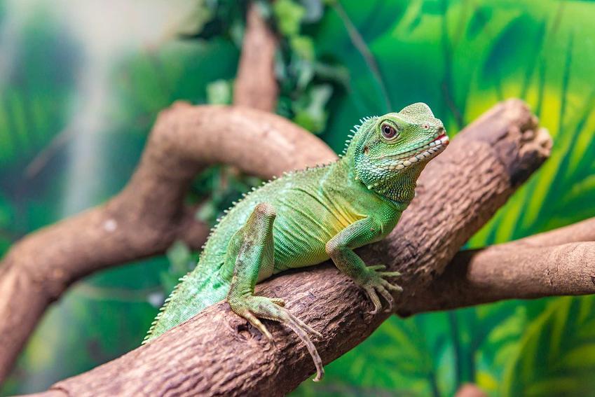 Agama błotna siedząca na korzeniu, a także informacje o gatunku, zdjęcia, pielęgnacja, wymagania oraz hodowla