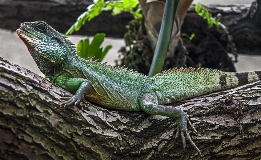 Zielona agama błotna siedząca na korzeniiu w terrarium, a także informacje o gatunku, wymagania, pielęgnacja oraz hodowla