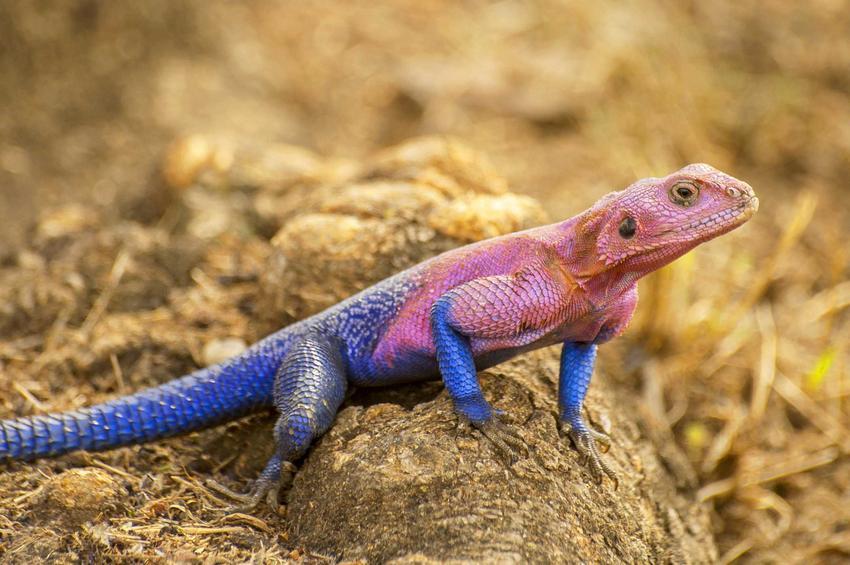 Agama czerwonogłowa z niebieskim ogonem, a także opis i zdjęcia, a także żywienie, porady oraz hodowla krok po kroku