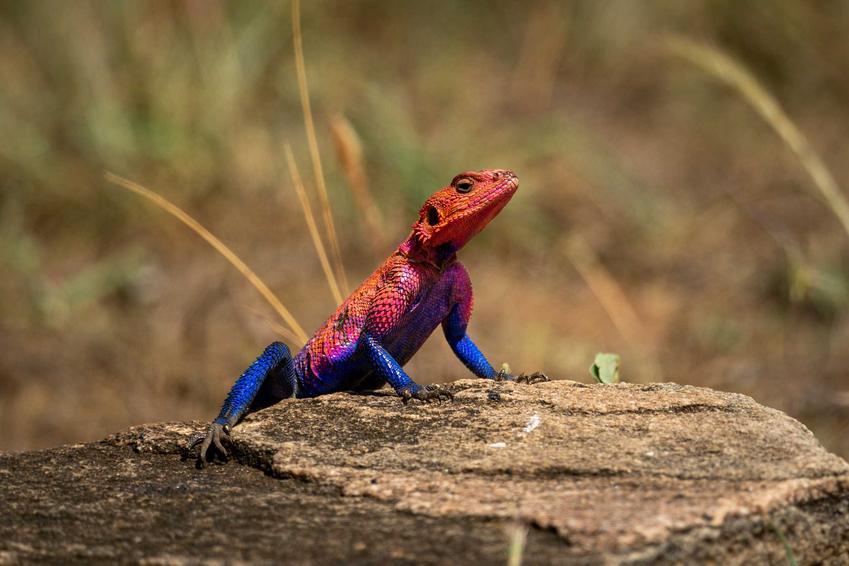 Agama czerwonogłowa w naturze siedząca na kamieniu, a także opis, wymagania, żywienie, hodowla oraz zdjęcie gatunku