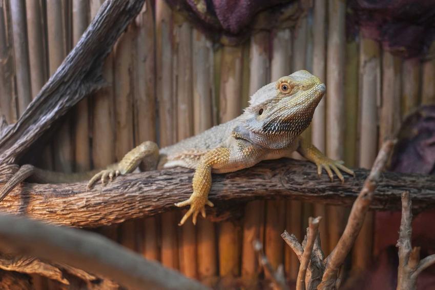 Agama brodata w terrarium siedząca na pniu drewna, a także cena agamy brodatej oraz koszt agamy ze sklepu zoologicznego lub z hodowli
