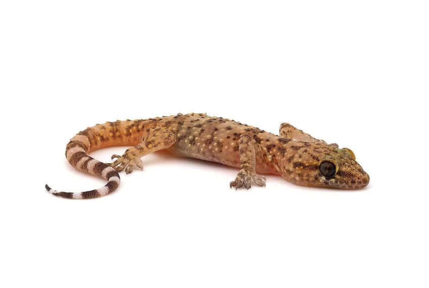 Mały gekon turecki o ogonie w paski, a także charakterystyka, wymagania, hodowla, żywienie oraz porady krok po kroku