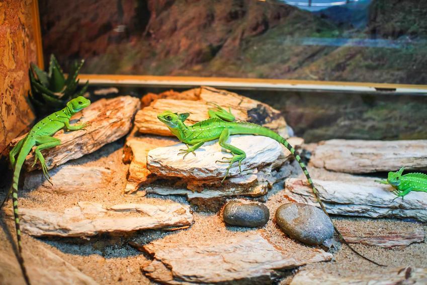 Zielone gekony w terrarium dla gekona, a także opis terrarium, wymiary, wyposażenie oraz porady dla hodowców