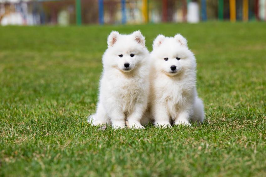 Dwa szczeniaki rasy samoyed na tle trawy, a także samoyed miniaturka i wyjaśnienie wątpliwości
