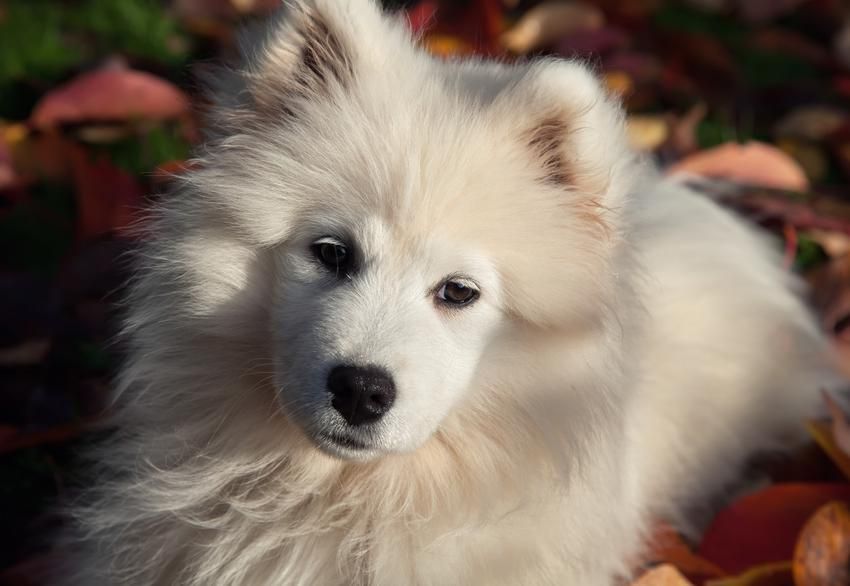 Pies rasy potocznie określanej jako samoyed miniaturka na tle liści