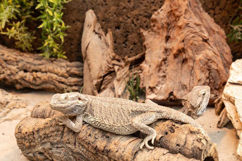 Agama siedząca na pniu w terrarium, a także terrarium dla agamy krok po kroku, opis i wymiary, a także porady i wyposażenie terrarium