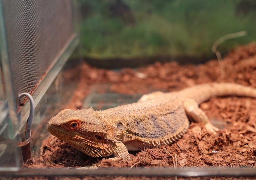 Agama na drobnym podłożu w terrarium, a także terrarium dla agamy krok po kroku, opis, wymiary oraz wyposażenie terrarium