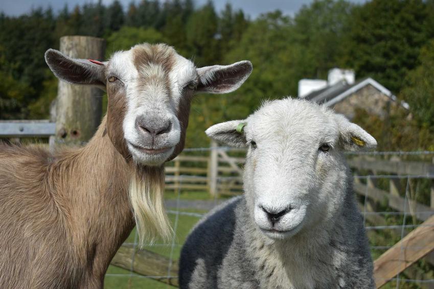 Koza i owca na gospodarstwie, a także bruceloza u tych zwierząt gospodarskich, źródło zakażenia, leczenie u ludzi oraz objawy