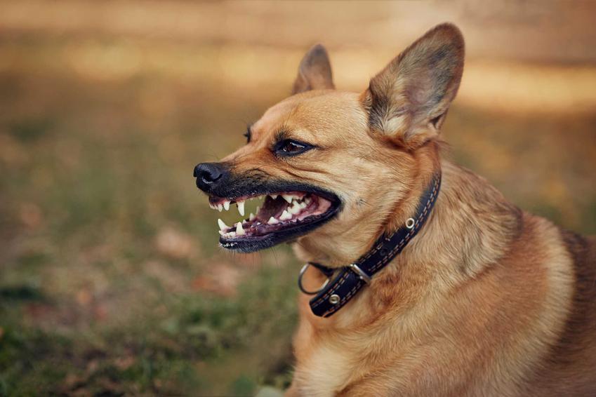 Pies leżący na trawie, warczący na przechodnia, a także informacje, czy warczenie jest powodem do niepokoju krok po kroku