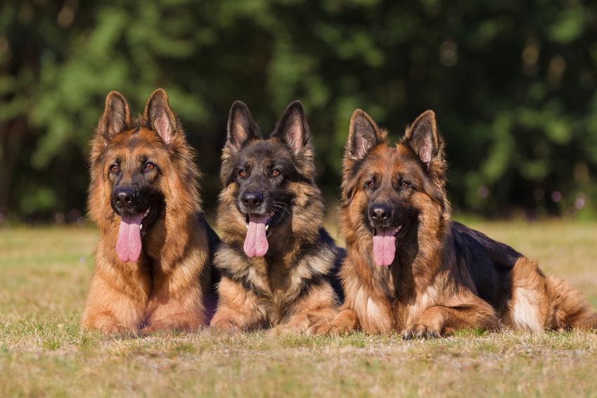 Trzy owczarki niemieckie leżące na trawie z językami na wierzchu, a także imię dla owczarka niemieckiego