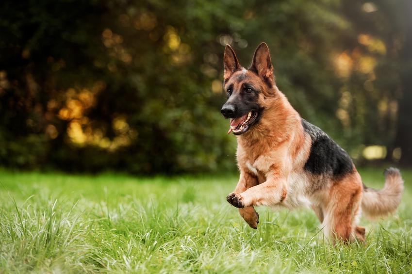 Owczarek niemiecki biegający po trawie podczas spaceru oraz polecane imię dla owczarka niemieckiego