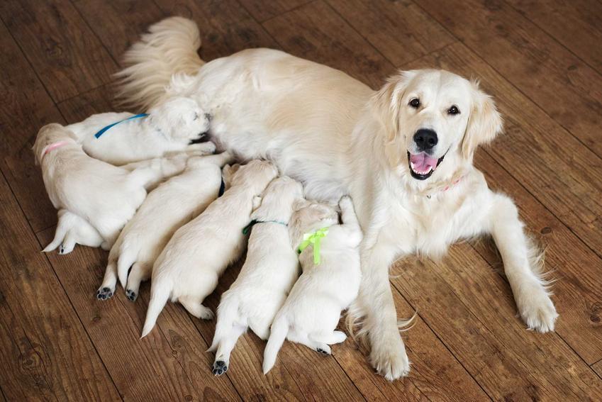 Pies golden retriver z hodowli z młodymi szczeniakami, a także rodowód psa, co to znaczy, co to jest rodowód i jak kupić psa z rodowodem