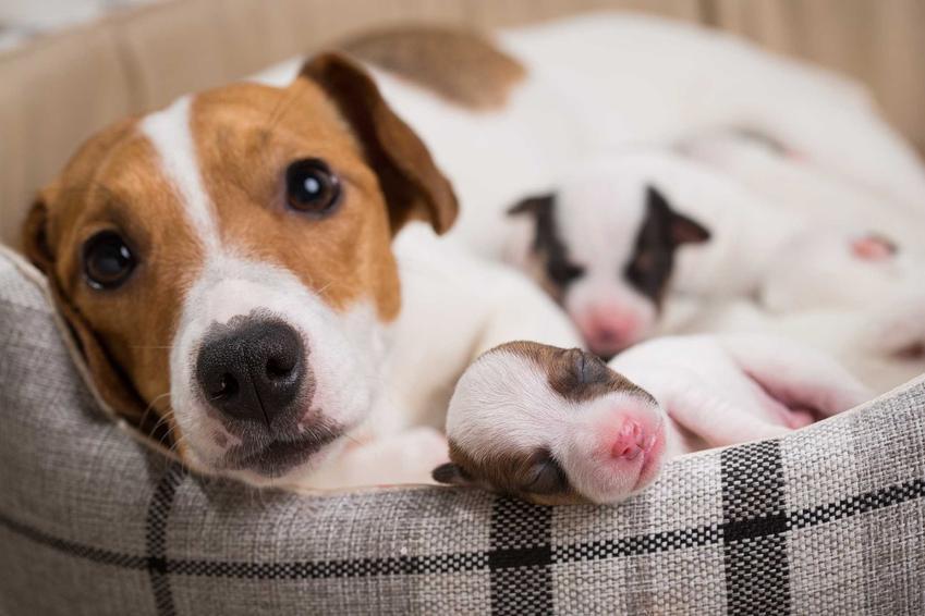Pies Jack Russel Terrier z młodymi w posłaniu, a także rodowód psa krok po kroku, czyli czym jest rodowód psa i jak go sprawdzić