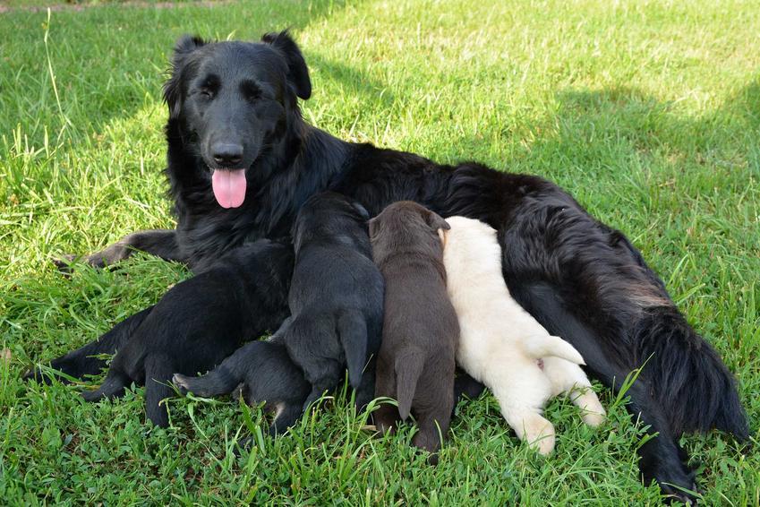 Psia mama karmiąca swoje szczenięta o różnych kolorach sierści, a także inbred, czyli kojarzenie krewniacze psów krok po kroku, definicja oraz zasady