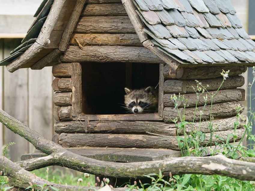 Szop pracz siedzący w specjalnie przygotowanej budzie w hodowli domowej, a także opis zwierzęcia, występowanie oraz hodowla w domu