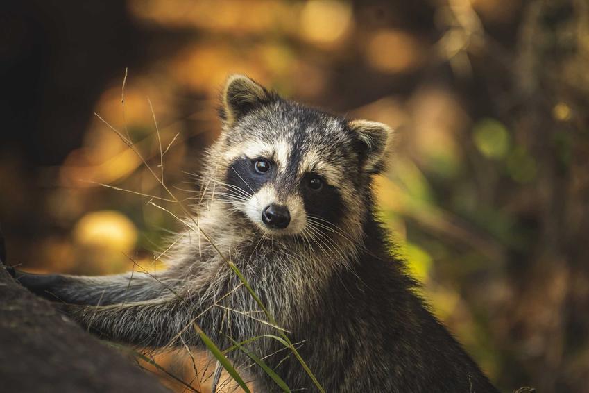 Szop pracz w lesie, a także występowanie zwierząt, opis, szkodliwość, zwalczanie oraz hodowla w domu