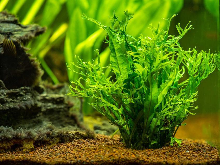Micorscorum o zielonych listkach w akwarium, a także TOP 10 roślin do akwarium o ciekawym pokroju i wzroście