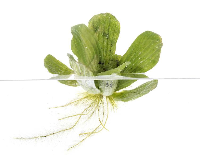 Pisia statiotes pływająca po wodzie oraz inne ciekawe i nietypowe rośliny akwariowe - TOP 10 roślin do akwarium