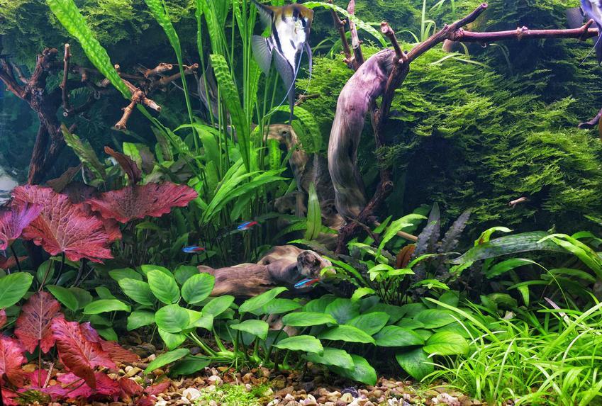 Najpiękniejsze rośliny zielone i czerwone idealne do uprawy w akwarium, czyli TOP 10 roślin akwariowych